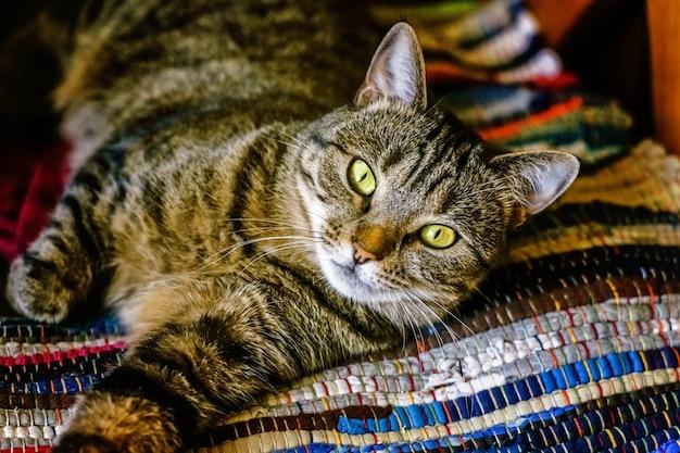 Arrogante kortharige binnenlandse mooie cyperse kat liggend op het donzige gestreepte tapijt
