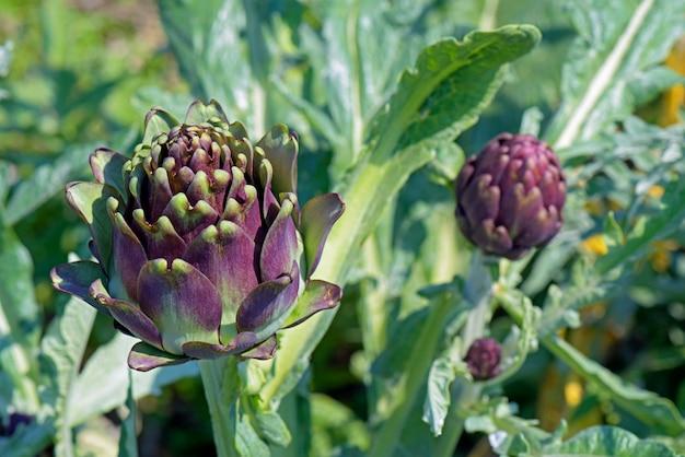 Artisjokaanplanting in bloem