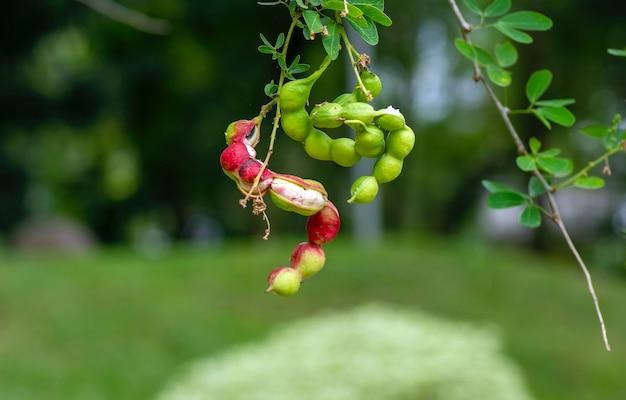 Asam kranji (dialium indum), de tamarinde-pruimenzaden