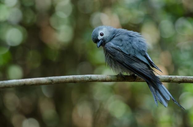 Ashy drongo-vogel streek op een tak neer
