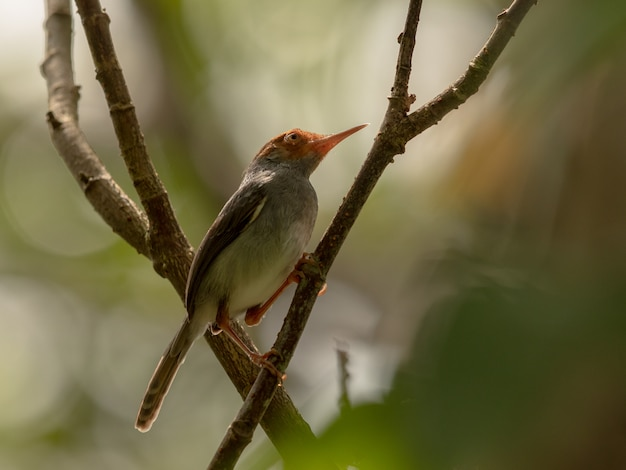 Ashy tailorbird, orthotomus ruficeps, zit op tak in bos
