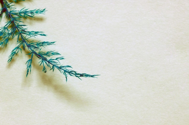 Asparaga bladeren, asparagus setaceus, klimmen asperges, of ferny asperges, op witte achtergrond