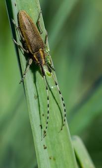 Asphodel long horned beetle, agapanthia asphodeli, rustend op een blad.
