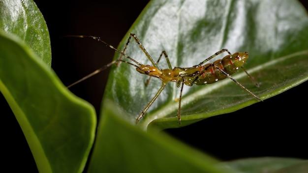 Assassin bug nimf van de familie reduviidae