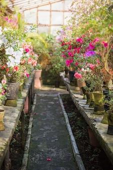 Assortiment van bloeiende azalea's rododendrons in bloempotten in oude kas.