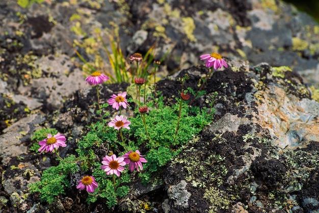 Aster alpinus groeit op rotsen tussen stenen. verbazingwekkende roze bloemen met geel centrum. alpine asters op klif close-up. vegetatie van hooglanden. mooie bergflora met exemplaarruimte. prachtige planten