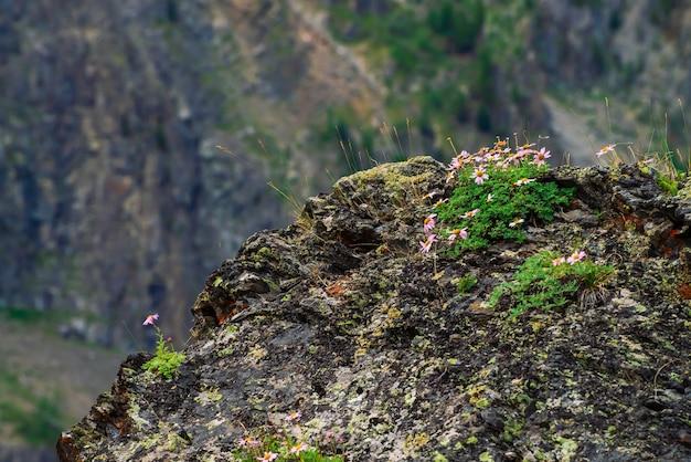 Aster alpinus groeit op rotsen tussen stenen.