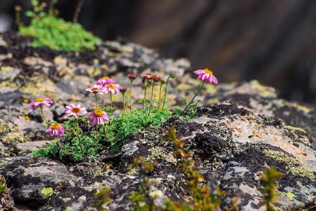 Aster alpinus groeit op rotsen tussen stenen