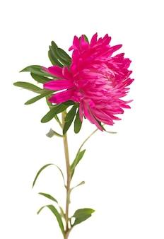 Aster bloemen