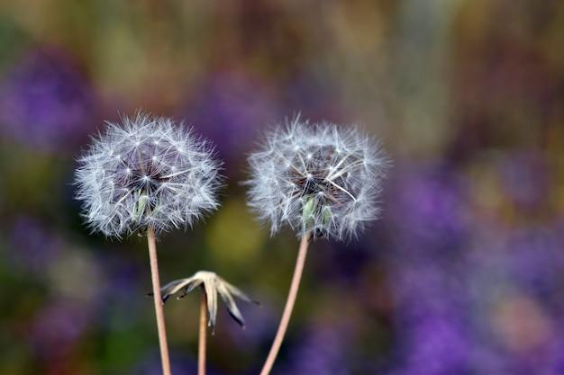 Asteraceae pappus op een paarse achtergrond