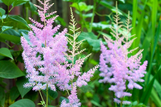 Astilbe bloemenclose-up