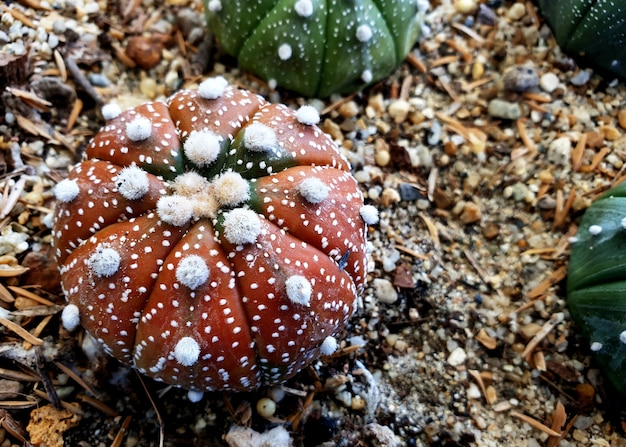 Astrophytum asterias cactusziekte in de tuin