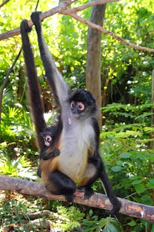 Ateles geoffroyi spider monkey midden-amerika