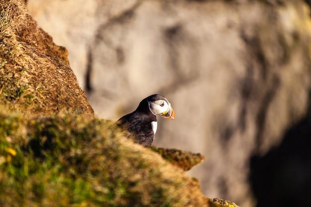 Atlantische papegaaiduiker -fratercula arctica- op een klif aan de kust in west-ijsland