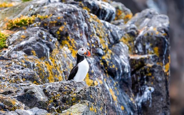 Atlantische papegaaiduiker -fratercula-arctica- op een kustklip in schotland. isle of may
