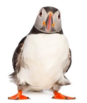 Atlantische papegaaiduiker of gewone papegaaiduiker-fratercula arctica