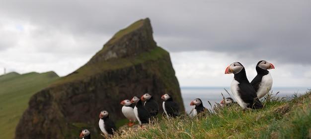 Atlantische papegaaiduiker of papegaaiduiker - fratercula arctica op mykines, faeröer