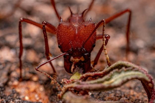 Atta bladsnijder mier van het geslacht atta