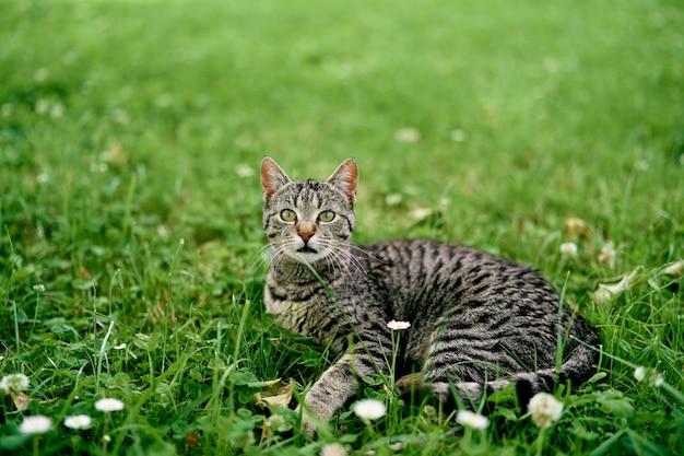Attente grijze cyperse kat ligt op een bloemenweide