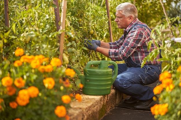 Attente senior man die tomatenplanten verzorgt terwijl hij gehurkt in zijn tuin zit