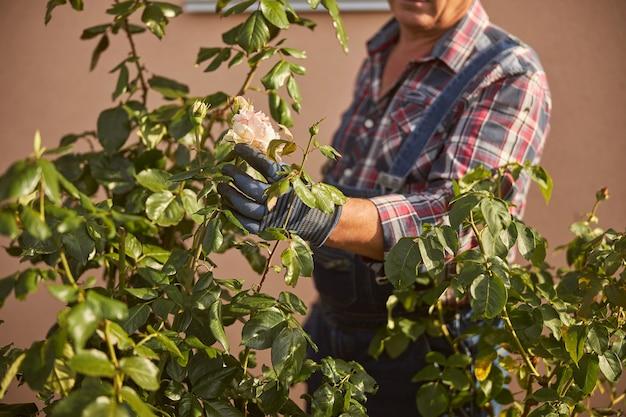 Attente tuinman die handschoenen draagt en de rozenknoppen in zijn tuin controleert