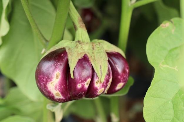 Aubergineplant in tropisch