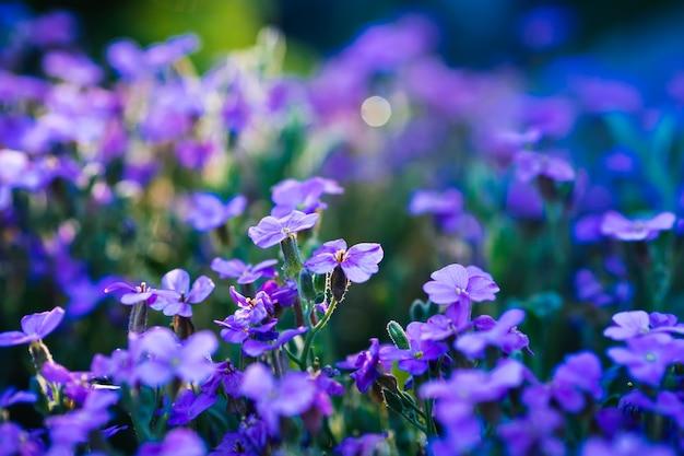 Aubrieta bloeiende blauw-violette bloemen in de lentetuin