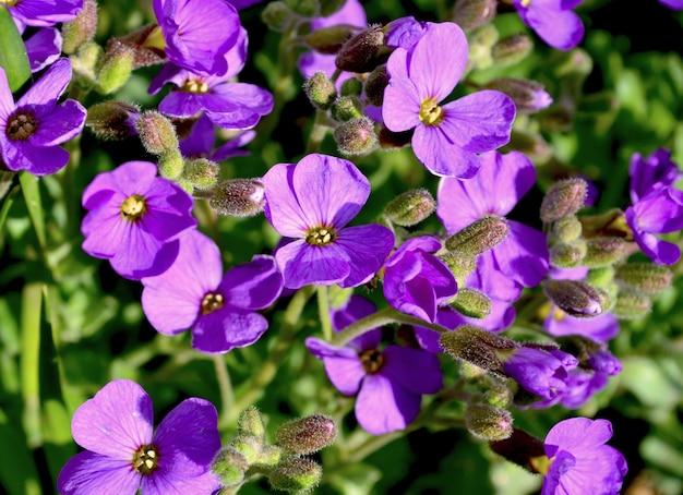 Aubrieta bloeit