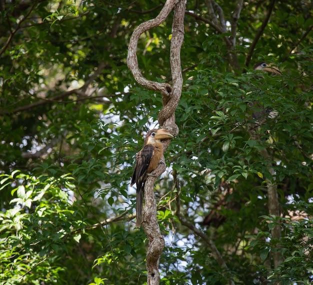 Austen's bruine neushoornvogel, de volwassen neushoornvogel die neerstrijkt na het voeren van voedsel, khaoyai national park, thailand