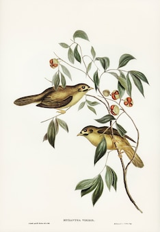 Australian bell bird (myzantha melanophrys) geïllustreerd door elizabeth gould