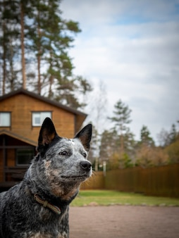 Australian cattle dog bewakingshuis