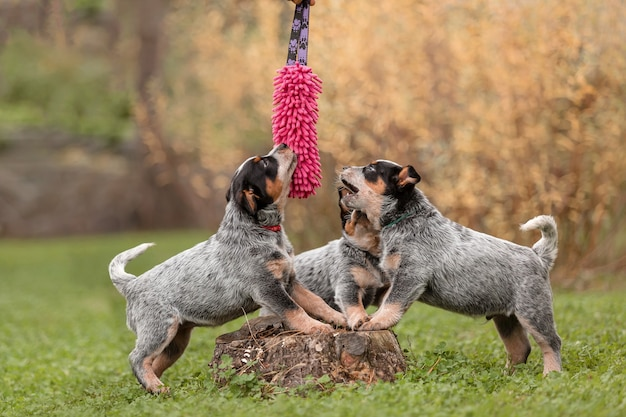 Australian cattle dog puppy buiten. puppy's in de achtertuin