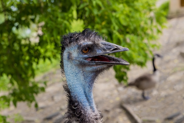 Australische blauwe emoe met open mond op aardachtergrond..