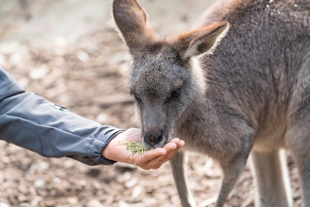 Australische dieren in het wild: personenhand die wilde kangoeroe voedt, buitenshuis uit de hand.