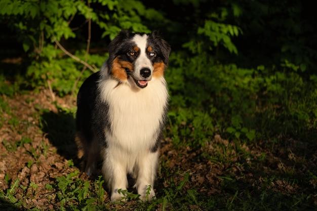 Australische herder drie kleuren hond in bos.