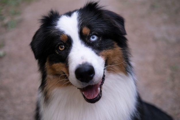 Australische herder drie kleuren hond met open mond. verschillende kleuren ogen.