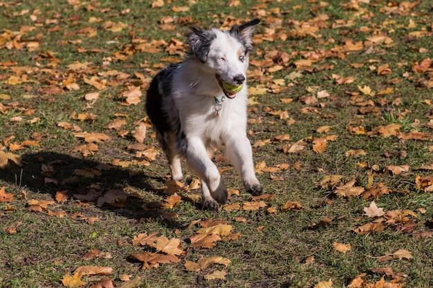 Australische herder met bal in herfst bos uitgevoerd.