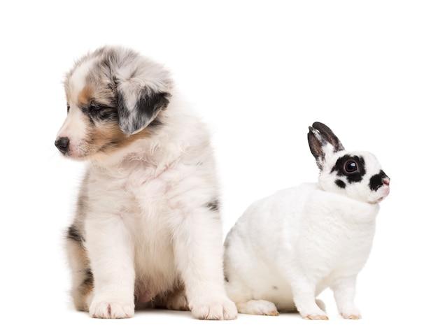 Australische herder pup en dalmatische konijn zitten