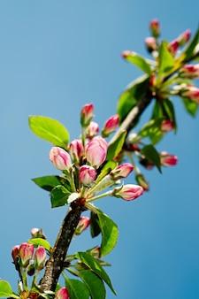 Australische inheemse roze vijfhoekige bloemen, styphelia triflora, familie ericaceae, groeit in heide langs de little marley firetrail