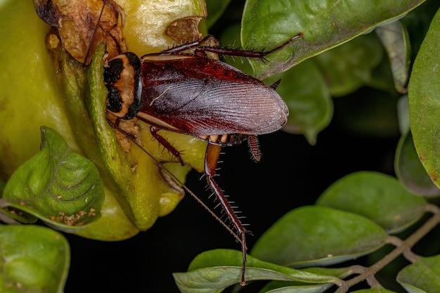 Australische kakkerlak van de soort periplaneta australasiae die carambolavruchten eet