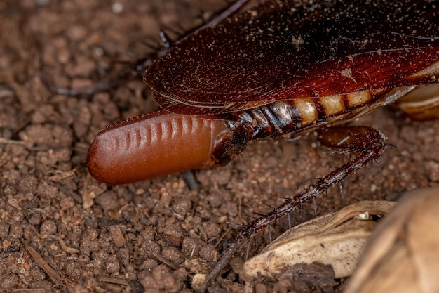 Australische kakkerlak van de soort periplaneta australasiae die eieren legt