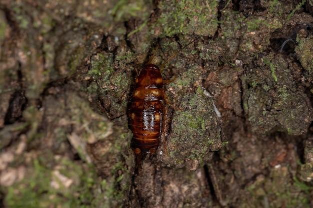 Australische kakkerlaknimf van de soort periplaneta australasiae
