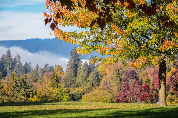Autumn maple-bomen in stanley park in vancouver, britse columnbia, canada