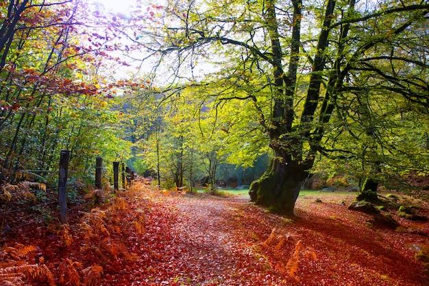 Autumn selva de irati-beukjungle in navarra de pyreneeën spanje