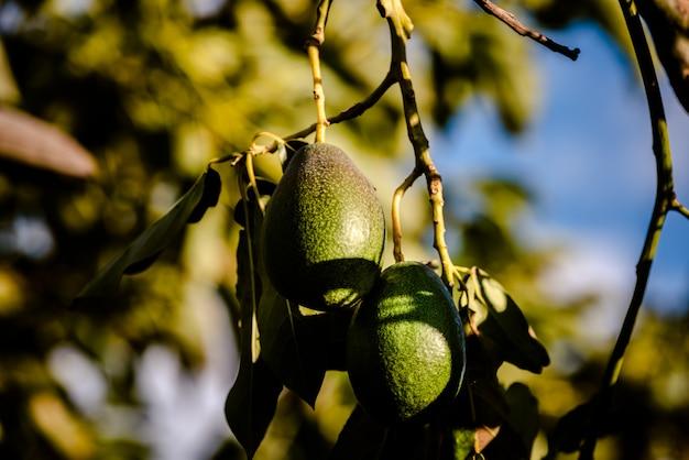Avocado's cuke seedless, persea americana, aan de boom, voordat ze rijp zijn en klaar voor de oogst.