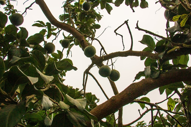 Avocado's hangend aan boomgroen fruit wetenschappelijke naam persea americana