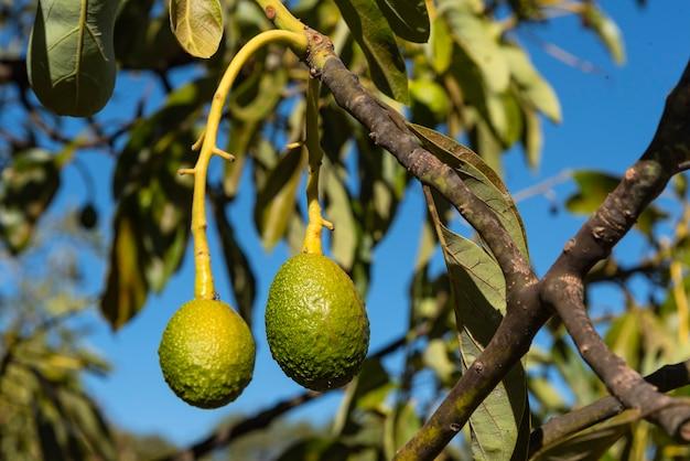 Avocado's rijpen op grote avocadoboom