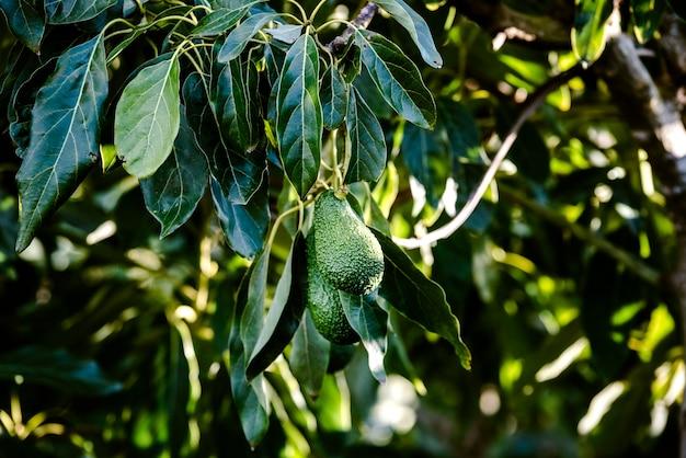 Avocadoboom met veel vruchten die van zijn takken in de zon hangen.