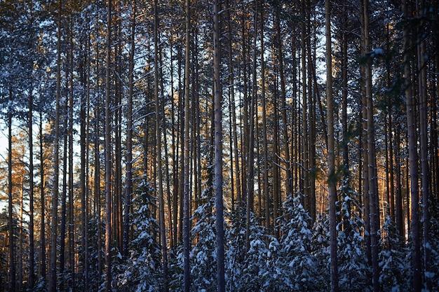 Avond in het donkere bos, kerstmis. zonnestralen in het donker. nieuw jaar, bedekt met sneeuw. sparren dennen