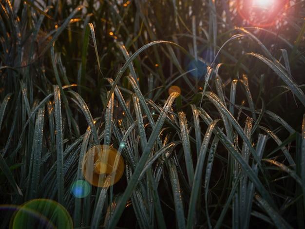 Avondglans van de zon op het donkere gras. de stralen van de avondzon gaan door het gras.